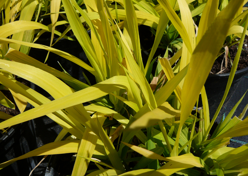 Phalaris 'Pure Gold'